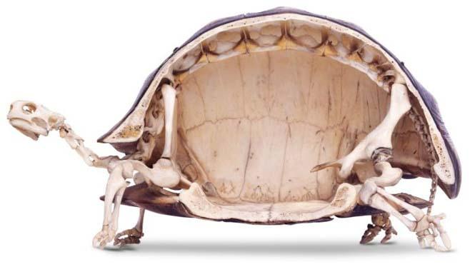 Το εσωτερικό μιας χελώνας (2)