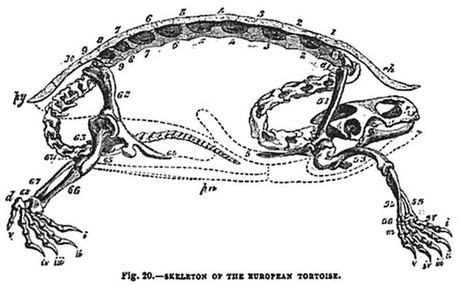 Το εσωτερικό μιας χελώνας (4)