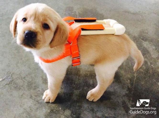 Η εκπαίδευση ενός σκύλου οδηγού ξεκινάει από κουτάβι   Φωτογραφία της ημέρας