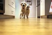2 κουτάβια μεγαλώνουν από 11 εβδομάδων σε 11 μηνών τρέχοντας προς το φαγητό