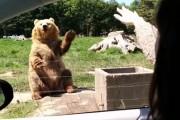 Απίστευτη αρκούδα χαιρετάει και πιάνει την τροφή στον αέρα με τη μια πατούσα