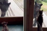 Αρκούδα προσπαθεί να εισβάλει σε σπίτι αλλά έρχεται αντιμέτωπη με την γάτα της οικογένειας