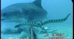 Καρχαρίας εναντίον φιδιού σε μια σπάνια μάχη (Video)
