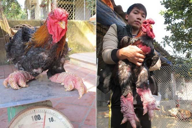 Κοτόπουλα Dong Tao (3)