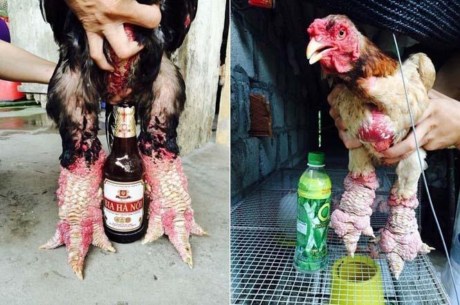 Κοτόπουλα Dong Tao (4)