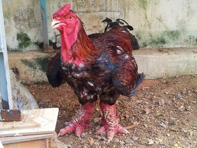 Κοτόπουλα Dong Tao (5)