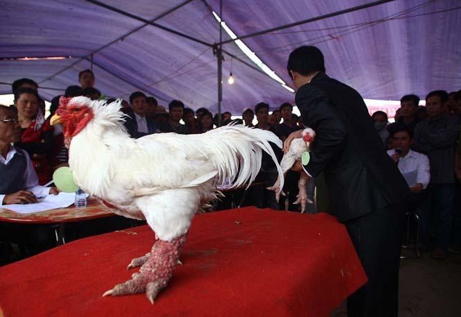 Κοτόπουλα Dong Tao (7)