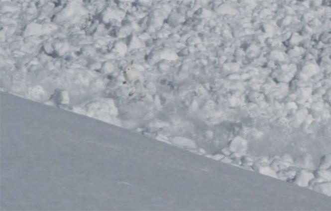 Κουνέλι κατά τη διάρκεια χιονοστιβάδας