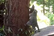 Μαμά ρακούν μαθαίνει στο μικρό της να σκαρφαλώνει σε δένδρα