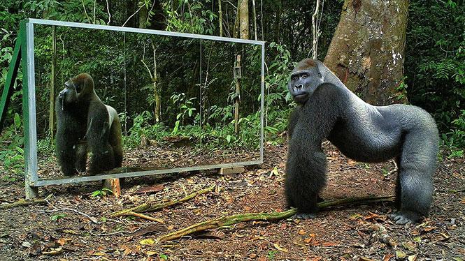 Πως αντιδρούν τα άγρια ζώα βλέποντας το είδωλο τους στον καθρέπτη;