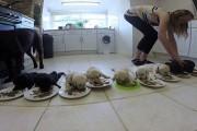 10 κουτάβια λαμπραντόρ τρώνε για πρώτη φορά