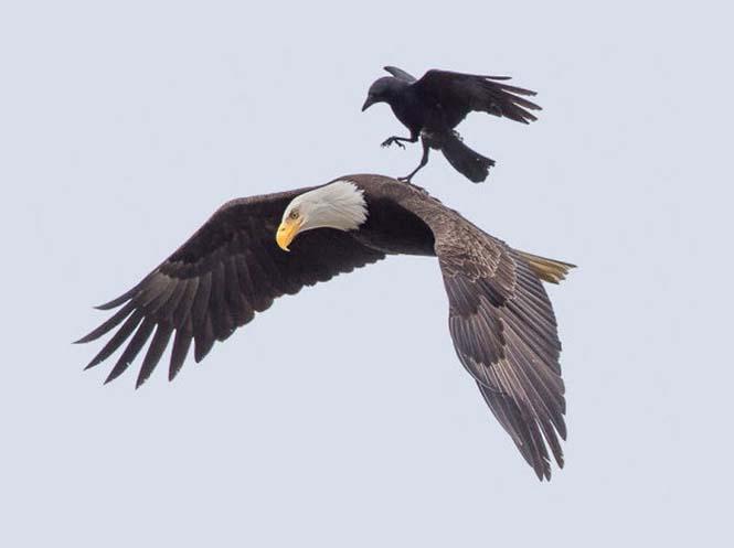 Κοράκι πάνω σε αετό (2)