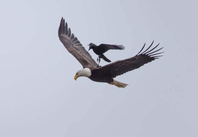 Κοράκι πάνω σε αετό (3)