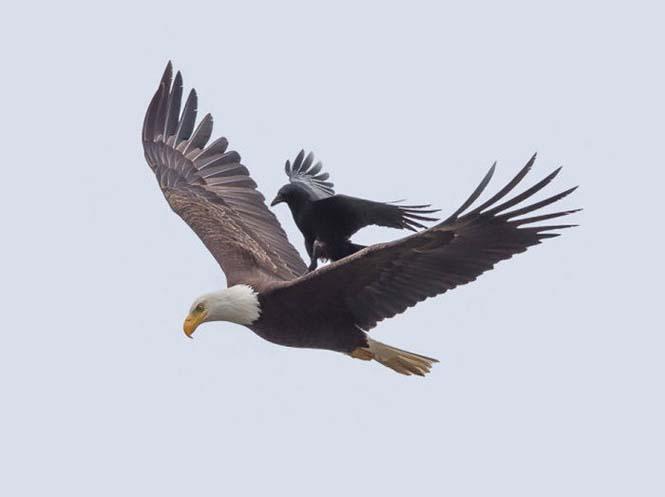 Κοράκι πάνω σε αετό (4)