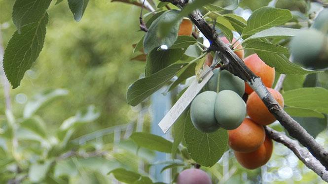 Δένδρο που βγάζει πάνω από 40 διαφορετικά φρούτα