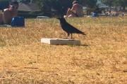 Έξυπνο κοράκι ανοίγει κουτί πίτσας