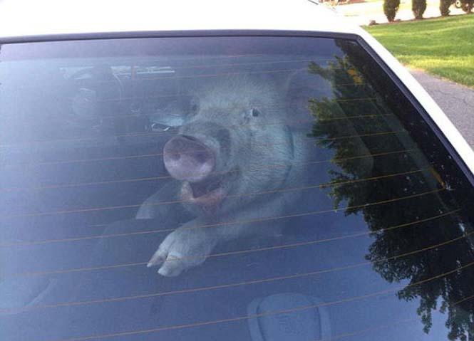 Γελάει καλύτερα, όποιος γελάει τελευταίος... Κι αυτό το γουρούνι το γνωρίζει καλά! (1)