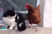 Κοτόπουλο εναντίον γάτας για φαγητό