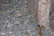 Μπορείτε να εντοπίσετε την λεοπάρδαλη του χιονιού σε αυτή την φωτογραφία; (1)