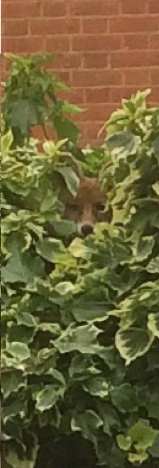 Μπορείτε να εντοπίσετε την αλεπού; (4)