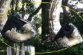 Σπάνιο βίντεο: Πύθωνας καταβροχθίζει μια τεράστια νυχτερίδα
