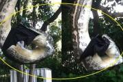 Πύθωνας καταβροχθίζει νυχτερίδα