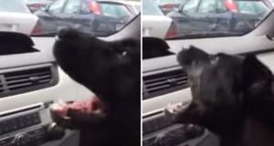 Σκύλος ανακαλύπτει το air condition του αυτοκινήτου και τρελαίνεται (Video)