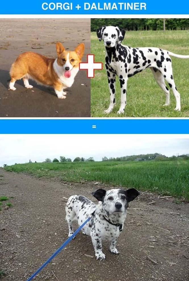 Ασυνήθιστες διασταυρώσεις σκύλων (5)