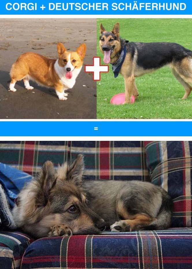 Ασυνήθιστες διασταυρώσεις σκύλων (7)