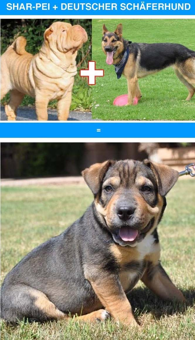 Ασυνήθιστες διασταυρώσεις σκύλων (8)