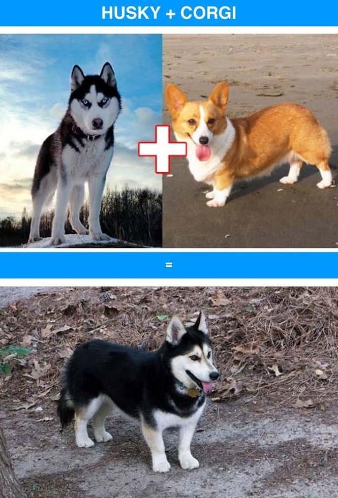 Ασυνήθιστες διασταυρώσεις σκύλων (9)