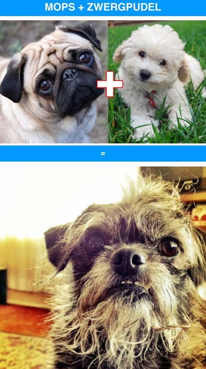 Ασυνήθιστες διασταυρώσεις σκύλων (10)