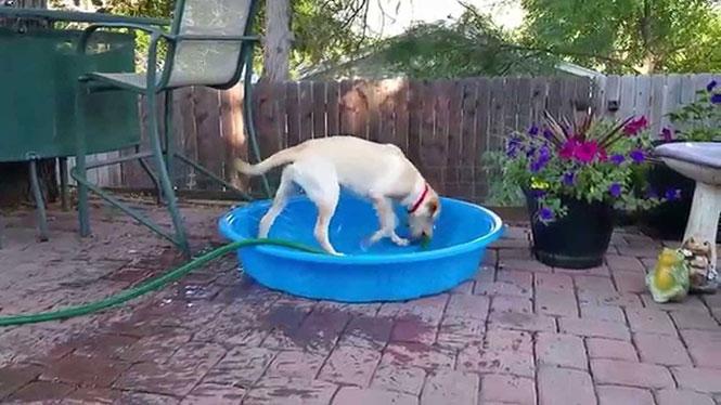 Έξυπνο σκυλί γεμίζει την παιδική πισίνα για τον εαυτό του