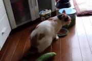 Γάτα φρικάρει με αγγούρι