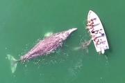 Γκρι φάλαινα και το μικρό της πρόσφεραν σε τουρίστες μια εμπειρία που δεν θα ξεχάσουν ποτέ