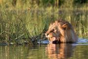 Λιοντάρι κολυμπάει πανικόβλητο αφού ήρθε αντιμέτωπο με έναν κροκόδειλο (1)