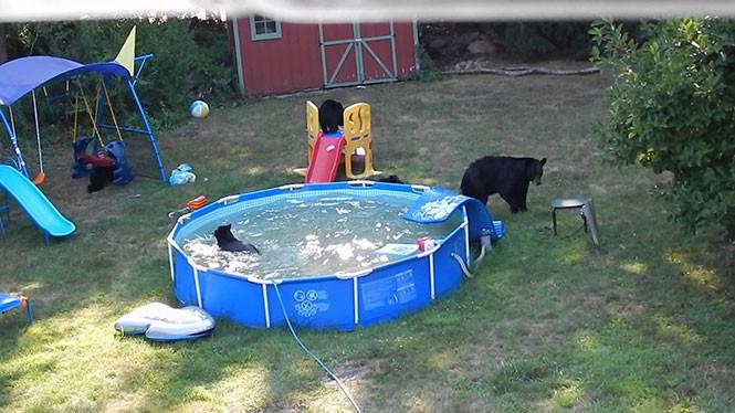 Οικογένεια αρκούδων έκανε κατάληψη σε πισίνα