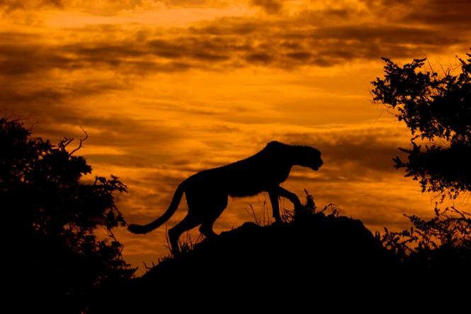 Τσιτάχ στο ηλιοβασίλεμα | Φωτογραφία της ημέρας