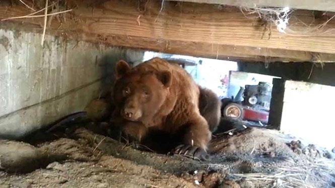Άνδρας ήρθε αντιμέτωπος με μια τεράστια αρκούδα που κρυβόταν κάτω από την βεράντα του