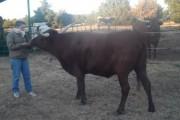 Έξυπνες αγελάδες