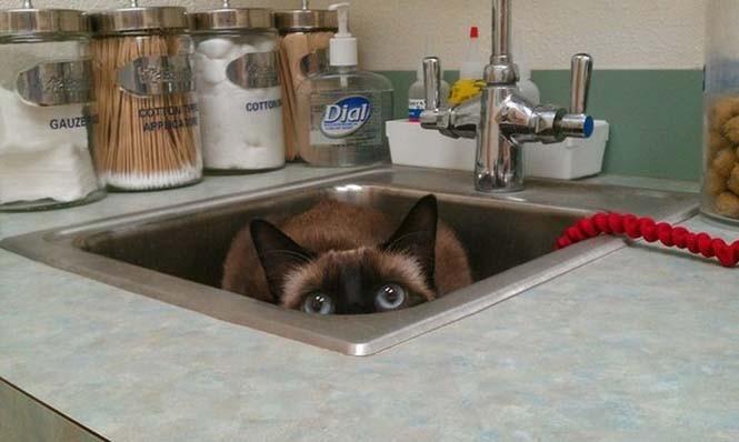 Γάτες προσπαθούν να κρυφτούν από τον κτηνίατρο (10)
