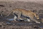 Λεοπάρδαλη πήγε για ψάρεμα στη λάσπη (1)