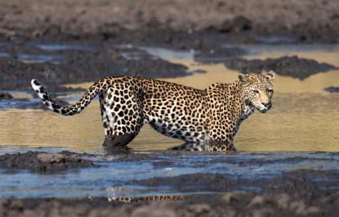 Λεοπάρδαλη πήγε για ψάρεμα στη λάσπη (2)