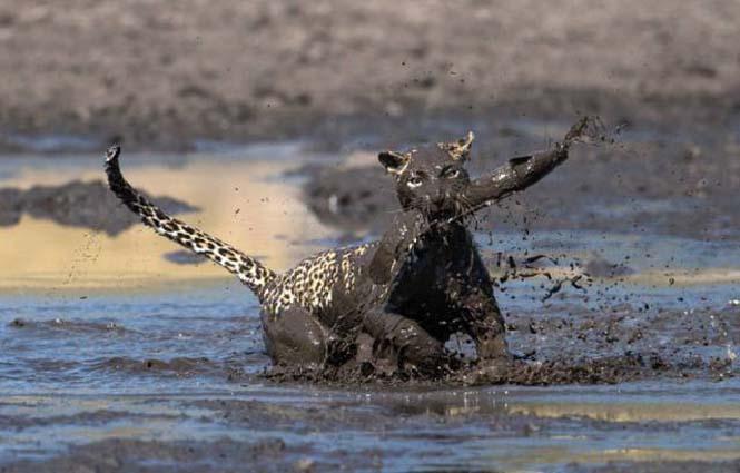 Λεοπάρδαλη πήγε για ψάρεμα στη λάσπη (5)
