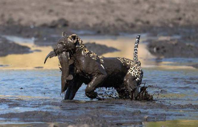 Λεοπάρδαλη πήγε για ψάρεμα στη λάσπη (6)