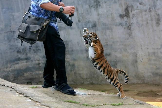 Το τιγράκι που δεν συμπαθεί τους φωτογράφους | Φωτογραφία της ημέρας