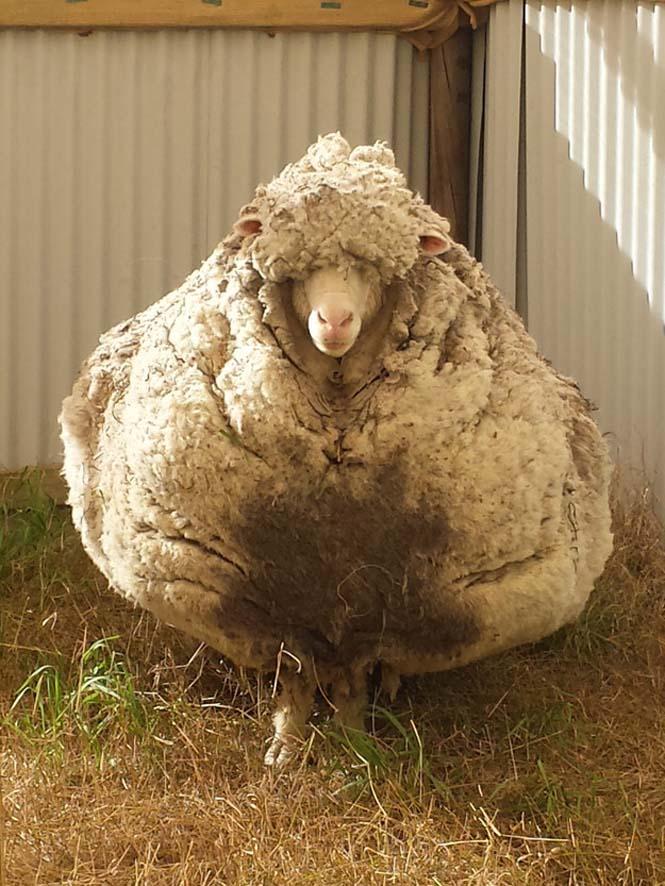 Αυτό συμβαίνει όταν ένα πρόβατο δεν κουρευτεί για 5 χρόνια (3)