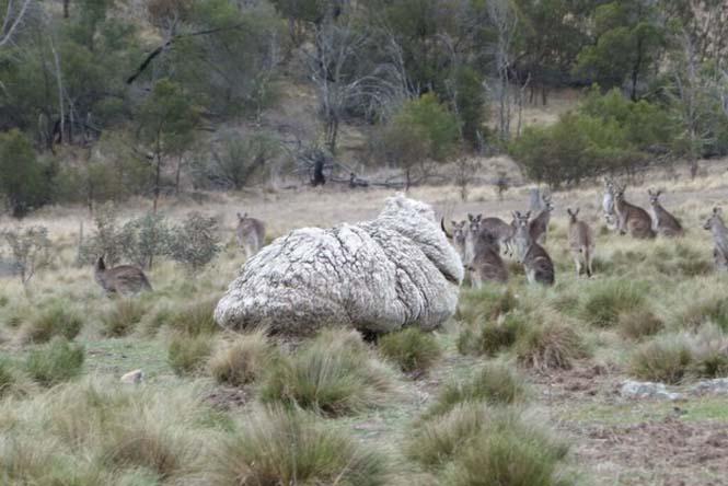 Αυτό συμβαίνει όταν ένα πρόβατο δεν κουρευτεί για 5 χρόνια (4)