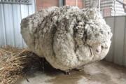 Αυτό συμβαίνει όταν ένα πρόβατο δεν κουρευτεί για 5 χρόνια (5)