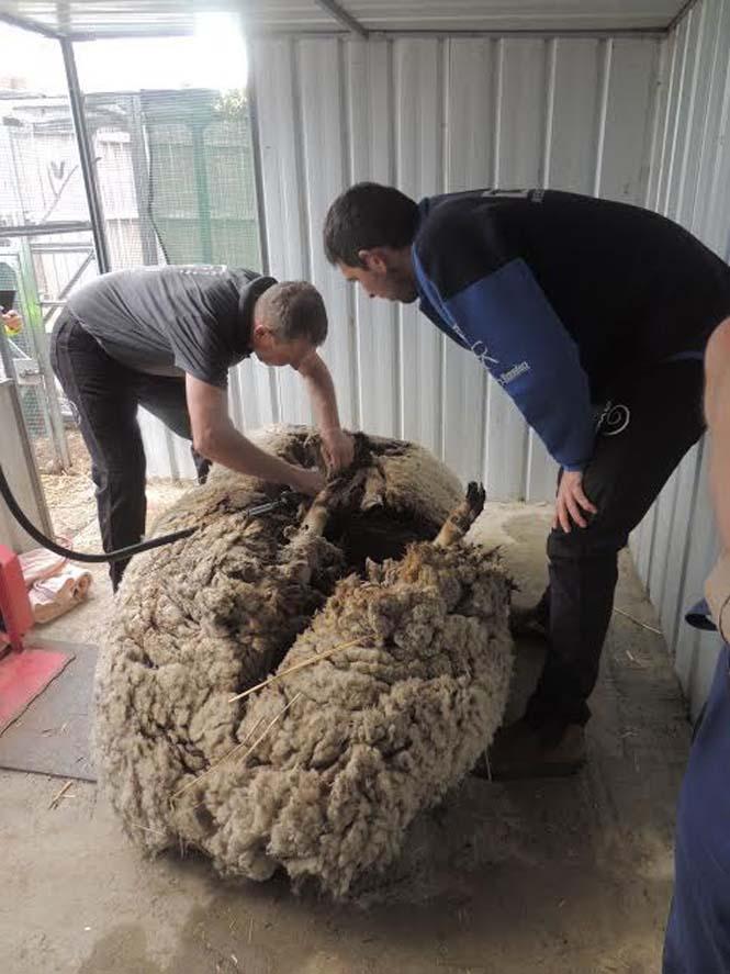 Αυτό συμβαίνει όταν ένα πρόβατο δεν κουρευτεί για 5 χρόνια (6)